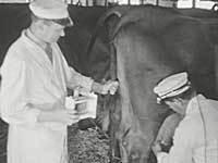 Dyrelægekontrol af malkekøerne på Lautrupgaard ca. 1930