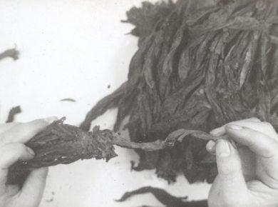 Tobaksproduktion 1930'erne – Ukendt fotograf